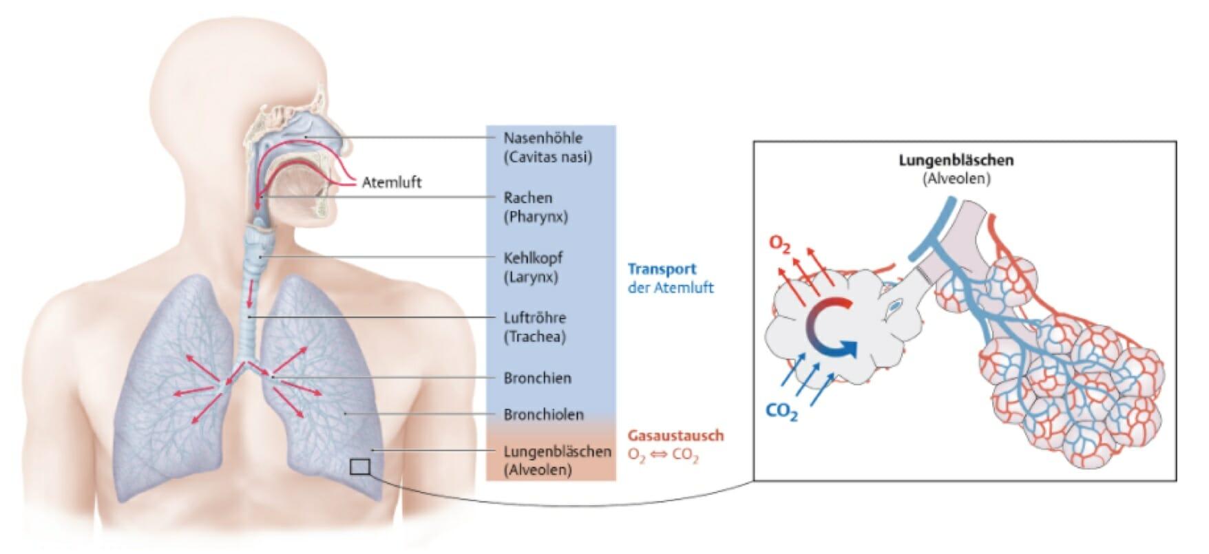 Atmungssystem: Überblick - Institut Fernblick UG